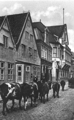 Über Jahrzehnte ein gewohntes Bild für die Husumer: Auftrieb durch die Neustadt zum Viehmarkt