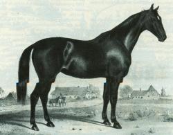 """Das Ideal einer """"Dithmarscher Stute"""". Die Lithographie stammt von 1847 als der """"Holsteiner"""" als Rasse noch kein fester Begriff war"""