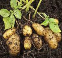 Beitragsbild für Kartoffeln